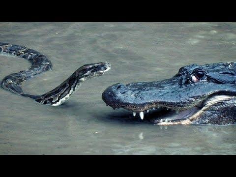 Python vs Alligator 16 - Real Fight - Python attacks Alligator