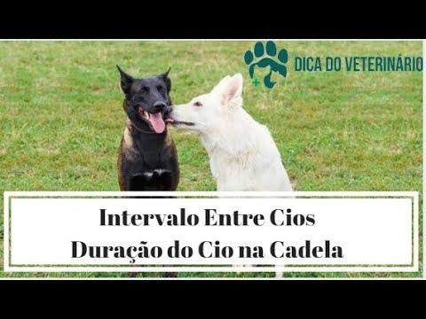 Dica do Veterinário Cada quanto tempo a cadela entra no cio Quanto tempo dura e qual a gestação