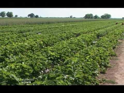 Isplativost prilikom proizvodnje jagoda U nasem ataru 327.wmv
