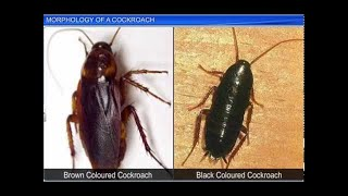 CBSE Class 11 Biology, Structural Organisation in Animals – 6, Morphology of a Cockroach