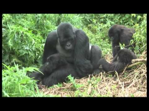 Gorillas mating footage Rwanda - World Primate Safaris
