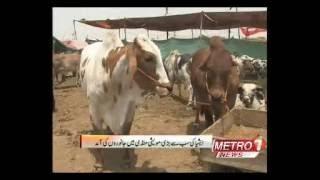 Asia Largest Cow Mandi Karachi 2016