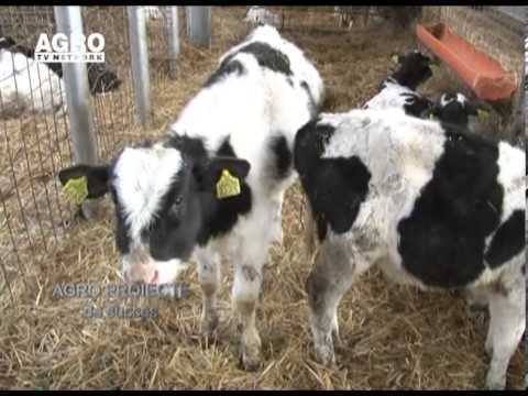 REPORTAJ VIDEO Ferma de bovine la standarde europene