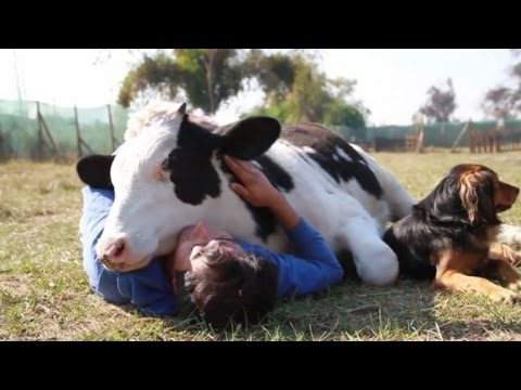 Rescued Dairy Cow Loves the Affection of the People Who Saved Him