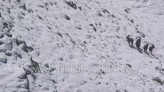 Snow leopard slinks into position to ambush a herd of Ibex, the hunt begins!