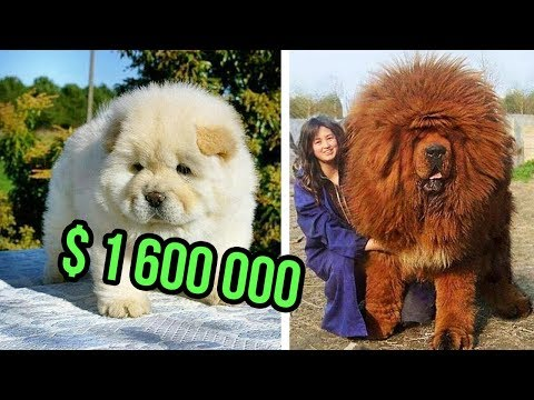 Xxx Mp4 THE Most EXPENSIVE DOG BREEDS In The World 3gp Sex