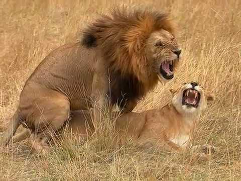 Vida Animal. Animais no ato do acasalamento. Animal s Mating