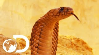 The Most Deadly Snake Of The Egyptian Desert   Wildest Middle East