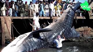 أضخم المخلوقات البحرية التي صورها الصيادون..!!
