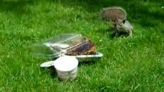 AGGRESSIVE NERVOUS SQUIRREL on nick green