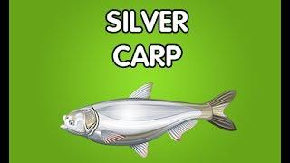 silver carp 5  fishao