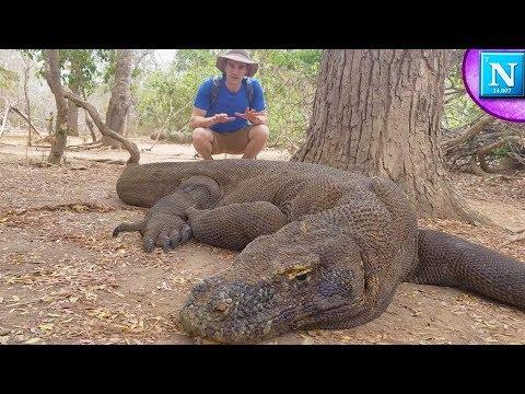 Komodo Dragons: World's Largest Lizard #ad