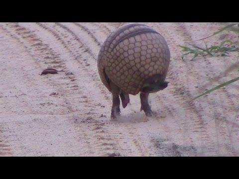 Tatu virando bola Armadillo rolls into a ball In the wild Brazil