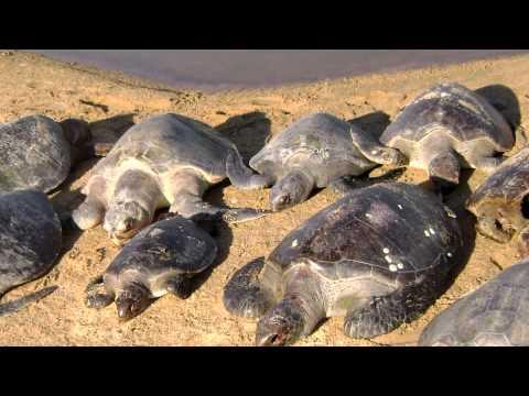 Especial del ciclo de vida de la tortuga Golfina