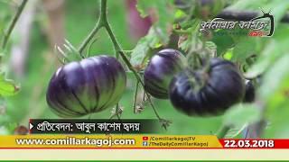 কুমিল্লায় দূর্লভ প্রজাতির টমেটো 'ব্ল্যাক বিউটি'র সফল চাষ