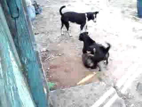Briga de cachorro parte 1.mp4