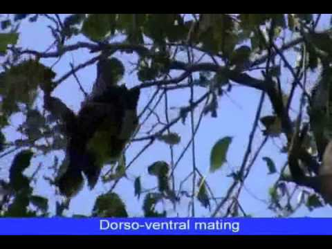Xxx Mp4 Cunnilingus Apparently Increases Duration Of Copulation In The Indian Flying Fox 3gp Sex
