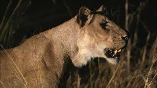 Lions Vs. Hippo