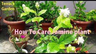 How To Care Jasmine Plant// Fertilizer for Mogra plant (Hindi/Urdu)