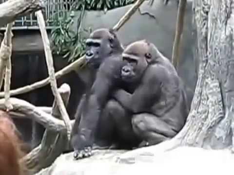 Xxx Mp4 Animal Mating Gorilla Gorilla Romance With Women 3gp Sex