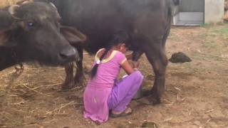 village how to get young girl milk from buffalo live video