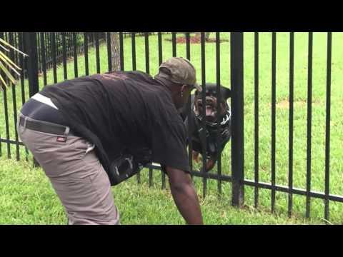 Django Rottweiler Protecting Backyard