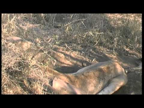 Lion vs Warthog struggle to death.