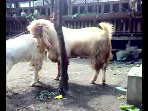 kambing etawa senduro super 130 kg kawin