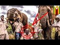 Download Video Download Gajah balas dendam dengan menginjak-injak pawangnya - TomoNews 3GP MP4 FLV