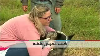 #بي_بي_سي_ترندينغ: #أستراليون يحتفون بـ #كلب ويكرمونه لقاء حراسته لطفلة صغيرة