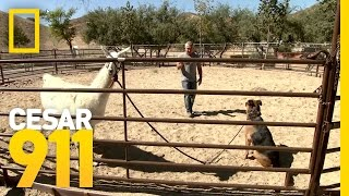 Lorenzo the Llama Puts Bodie in His Place | Cesar 911