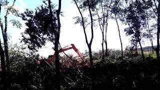 Bego di perkebunan,begitu cepat merobohkan pohon