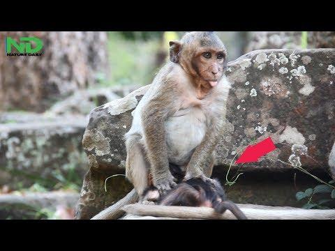 Xxx Mp4 God Help Sweet Pea Get Jealous With Newborn And Want To Kill Newborn Monkey Nature Daily 3gp Sex