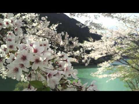 Sakura -JapaneseCherryBlossom- Tatsuyama, Japan [ Nozomi Suzuki ]