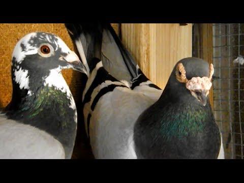 My Loft My Pigeons Loft Update Hofkens 700 bloodline