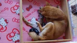 豆柴ララの出産4(第3子出産の瞬間) SHIBAINU