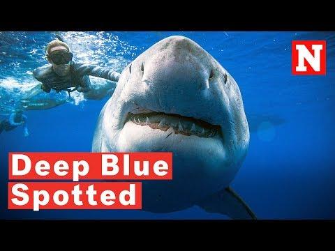 Xxx Mp4 Massive Great White Shark Deep Blue Spotted Off Hawaii Coast 3gp Sex