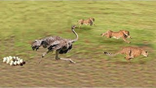Cheetahs Vs Ostrich Fight To Death | Ostrich Fail To Protect Her Baby Ostrich From Animals Hunting