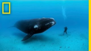 Diving with Whales   Nat Geo Live