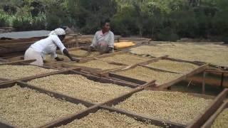 Wet Parchment Coffee, Konga Union, YirgaCheffe, Ethiopia