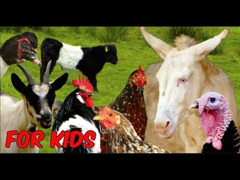 Xxx Mp4 For Kids RARE FARM ANIMALS Chicken Horse Cattle Goats Sheep Poultry Film For Children 3gp Sex