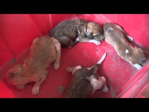 Saffie, Brufut, puppies