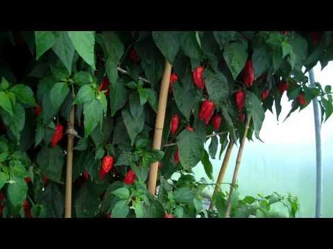 How we grew a giant Dorset Naga plant