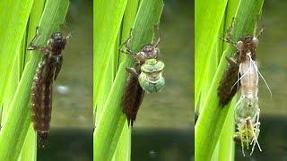 The Incredible Metamorphosis of the Dragonfly Larva