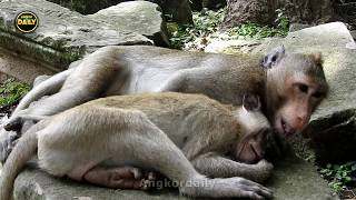 Sweet couple and tired fun monkeys Angkor daily 888