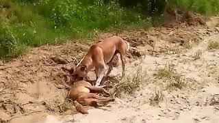 শিয়াল কিভাবে চালাকি করে কুকুর কে ফাকি দিল ।। Claver Fox and fool Dog