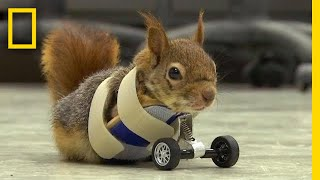 A Squirrel's Prosthetic Wheels Are the Key to Recovery | National Geographic