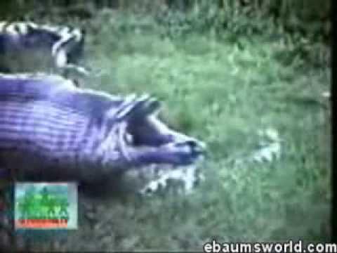 anaconda se come a hipopotamo