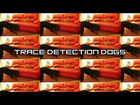 Bed bug detection dog Shadow searching a room for bed bugs with a hidden reward