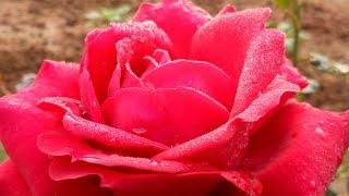 Rose plants maintenance